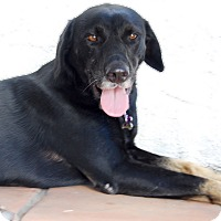 Labrador Retriever/German Shepherd Dog Mix Dog for adoption in Glendale, California - LADY