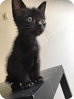 Domestic Shorthair Kitten for adoption in Austin, Texas - Ludwig