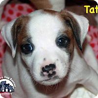 Adopt A Pet :: Tate - Suwanee, GA