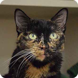Domestic Shorthair Cat for adoption in Denver, Colorado - Vivien