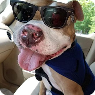 American Pit Bull Terrier Mix Dog for adoption in Homewood, Alabama - Brewster