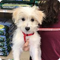 Adopt A Pet :: Tesla - Studio City, CA