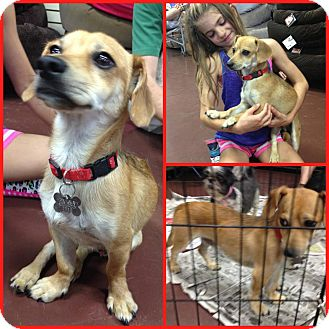 Dachshund Mix Dog for adoption in Scottsdale, Arizona - Herman