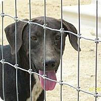 Labrador Retriever/Retriever (Unknown Type) Mix Dog for adoption in Mexia, Texas - Mason