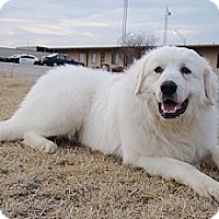 Adopt A Pet :: Great Pyrenees Avail to Adopt - Oklahoma City, OK