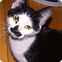 Adopt A Pet :: Ms Moustachio - Chicago, IL