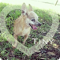 Adopt A Pet :: Tiny - Orlando, FL