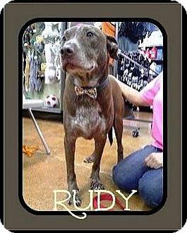 Labrador Retriever/American Bulldog Mix Dog for adoption in Arlington, Texas - Rudy