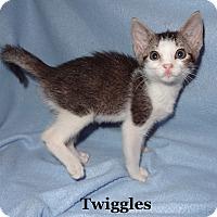Adopt A Pet :: Twiggles - Bentonville, AR