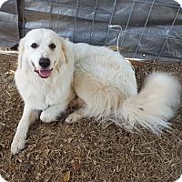 Adopt A Pet :: Olaf LGD - Kyle, TX
