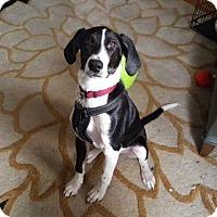 Adopt A Pet :: Phineas Fog - Rockville, MD