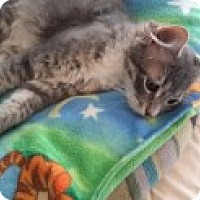 Domestic Shorthair Cat for adoption in La Canada Flintridge, California - Myles