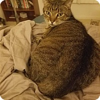 Domestic Shorthair Cat for adoption in Chicago, Illinois - Bella Ana