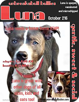 American Pit Bull Terrier Dog for adoption in Des Moines, Iowa - Luna