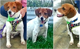 Beagle/Jack Russell Terrier Mix Dog for adoption in Findlay, Ohio - BOOMER