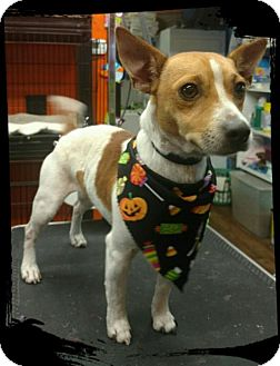 Jack Russell Terrier Dog for adoption in Eastman, Georgia - Ziggy