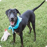 Adopt A Pet :: Harvey - Fort Collins, CO
