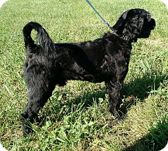 Schnauzer (Standard)/Cockapoo Mix Dog for adoption in Macomb, Illinois - Jack