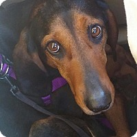 Hound (Unknown Type)/Black and Tan Coonhound Mix Dog for adoption in Lima, Pennsylvania - BobbieSue