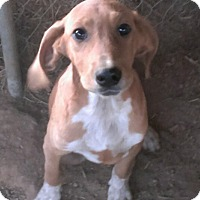 Adopt A Pet :: Hound pups - Aurora, IL