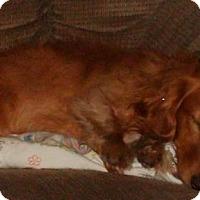 Adopt A Pet :: Honey - Humble, TX