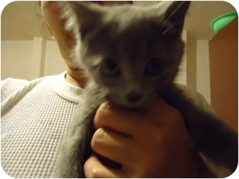 Russian Blue Kitten for adoption in Cleveland, Ohio - Willow