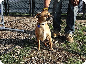 Miniature Pinscher/Italian Greyhound Mix Dog for adoption in West Los Angeles, California - Peter