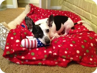 Rat Terrier/Jack Russell Terrier Mix Dog for adoption in Chattanooga, Tennessee - Scottie