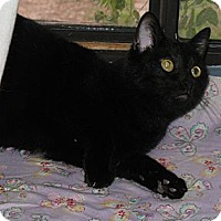 Domestic Shorthair Cat for adoption in Gilbert, Arizona - Hannah