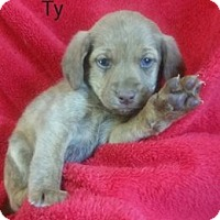 Adopt A Pet :: Ty - Chester, IL