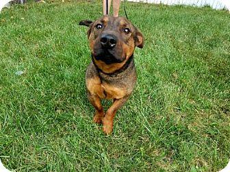 Basset Hound Mix Dog for adoption in Denver, Colorado - Rex