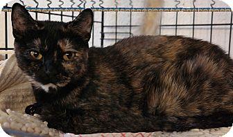 Domestic Mediumhair Cat for adoption in Trevose, Pennsylvania - Zena
