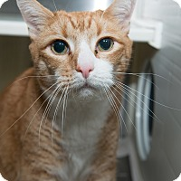 Adopt A Pet :: Bogart - New York, NY