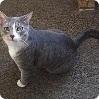 Domestic Shorthair Cat for adoption in Brooklyn, New York - Jax