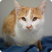 Domestic Shorthair Cat for adoption in DFW Metroplex, Texas - Autumn