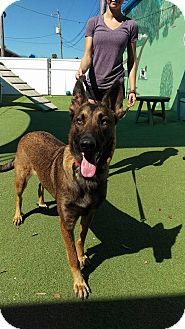 Belgian Malinois Dog for adoption in Cape Coral, Florida - Kimber