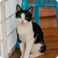 Domestic Shorthair Kitten for adoption in Denver, Colorado - Stella