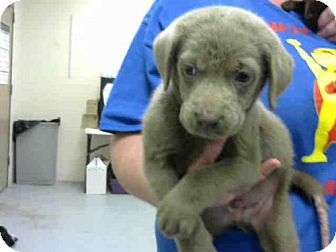 Labrador Retriever/Black Mouth Cur Mix Puppy for adoption in Conroe, Texas - GOOSE