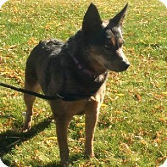 Australian Cattle Dog Mix Dog for adoption in Show Low, Arizona - Fellowship