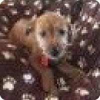 Beagle/Yorkie, Yorkshire Terrier Mix Puppy for adoption in Livonia, Michigan - Rq litter - Cherokee - ADOPTED