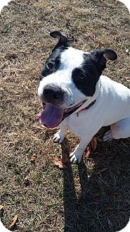 American Bulldog Mix Dog for adoption in Silver Spring, Maryland - THOREAU