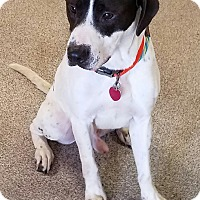 Adopt A Pet :: Archie - Troy, OH