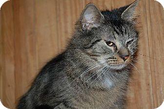 Maine Coon Cat for adoption in Alpharetta, Georgia - Winky