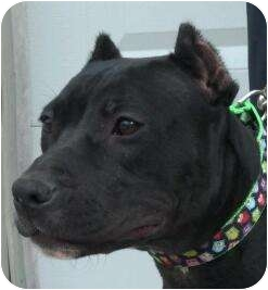 American Pit Bull Terrier Dog for adoption in Killen, Alabama - Gabrielle