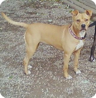 pug and pitbull mix goldie adopted dog toledo oh american pit bull 4376