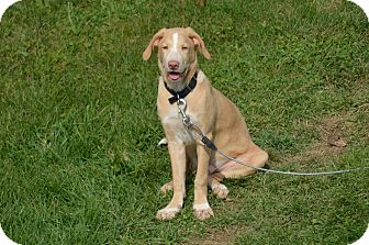 Labrador Retriever/Boxer Mix Dog for adoption in New Cumberland, West Virginia - Brutha
