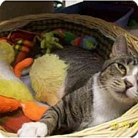 American Shorthair Cat for adoption in Beacon, New York - Furby