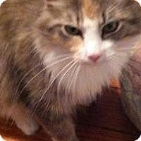 Adopt A Pet :: Gingi Girl (Mom Cat) - Medford, NJ