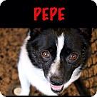 Adopt A Pet :: Pepe