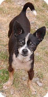 Chihuahua Dog for adoption in Shelbyville, Tennessee - Freckle
